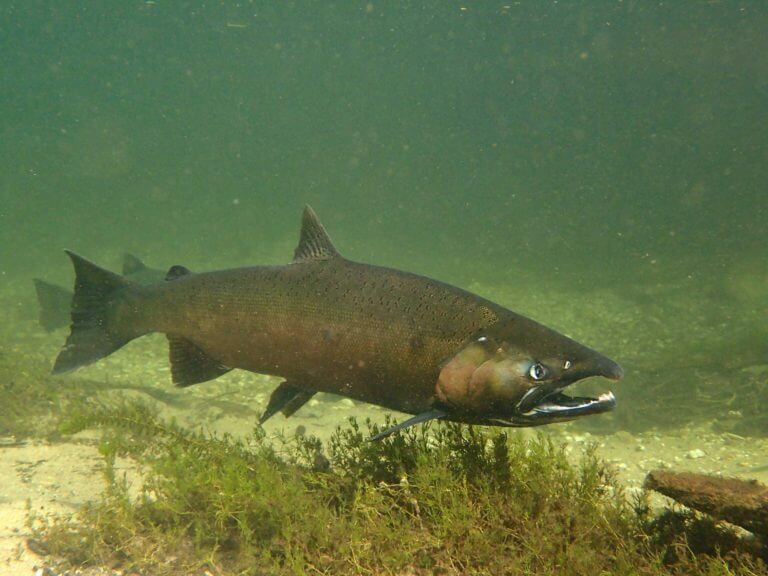 Chinook and Coho Salmon swimming in river